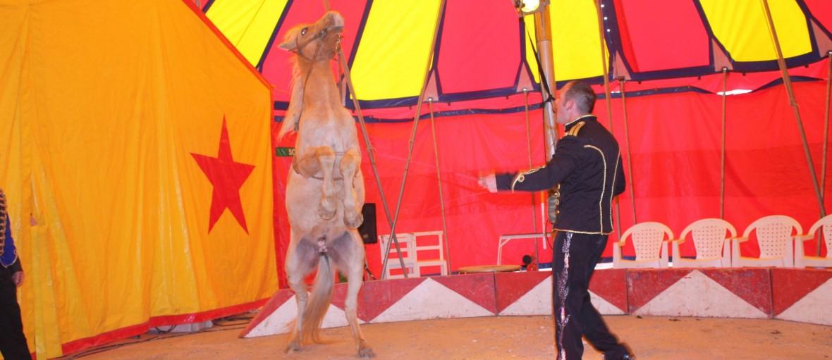 Cheval cirque europeen